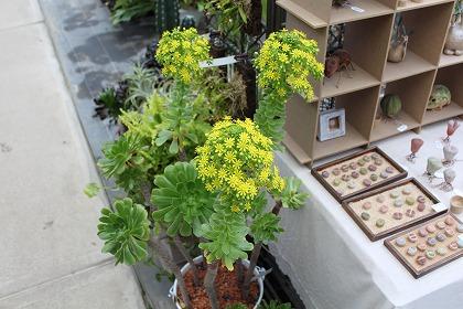 アエオニウム 花.jpg